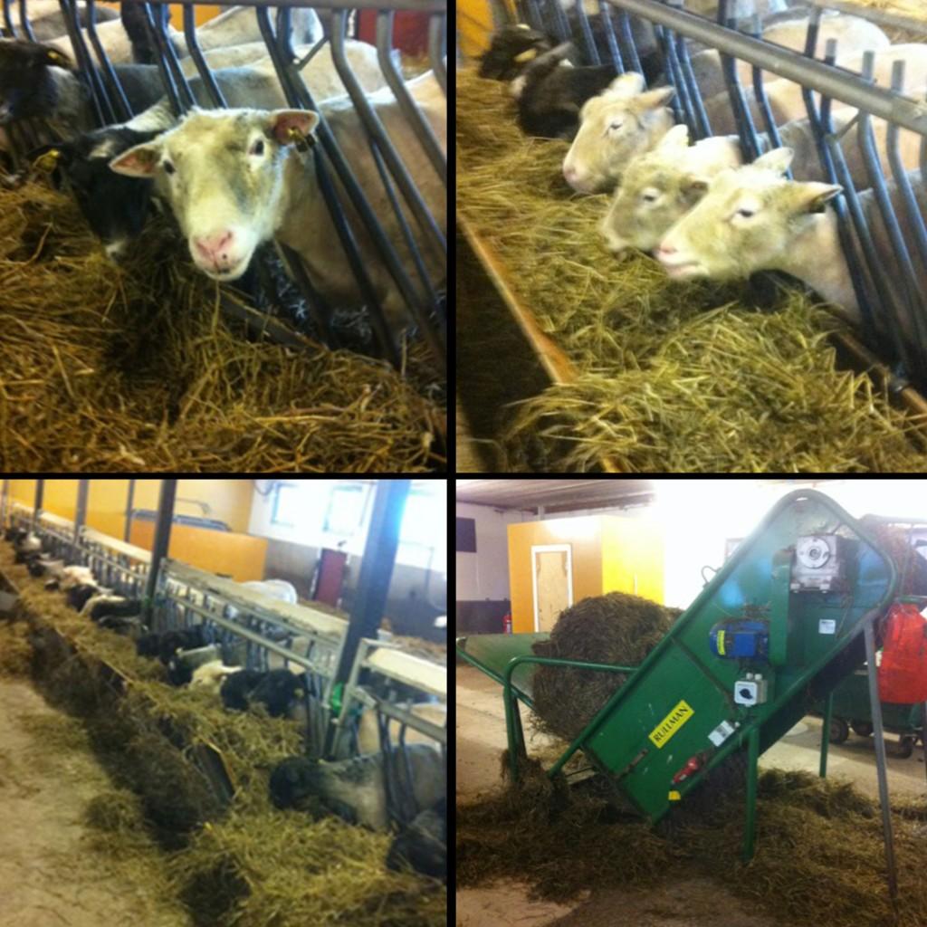 Ensilage och matdags i fårhuset