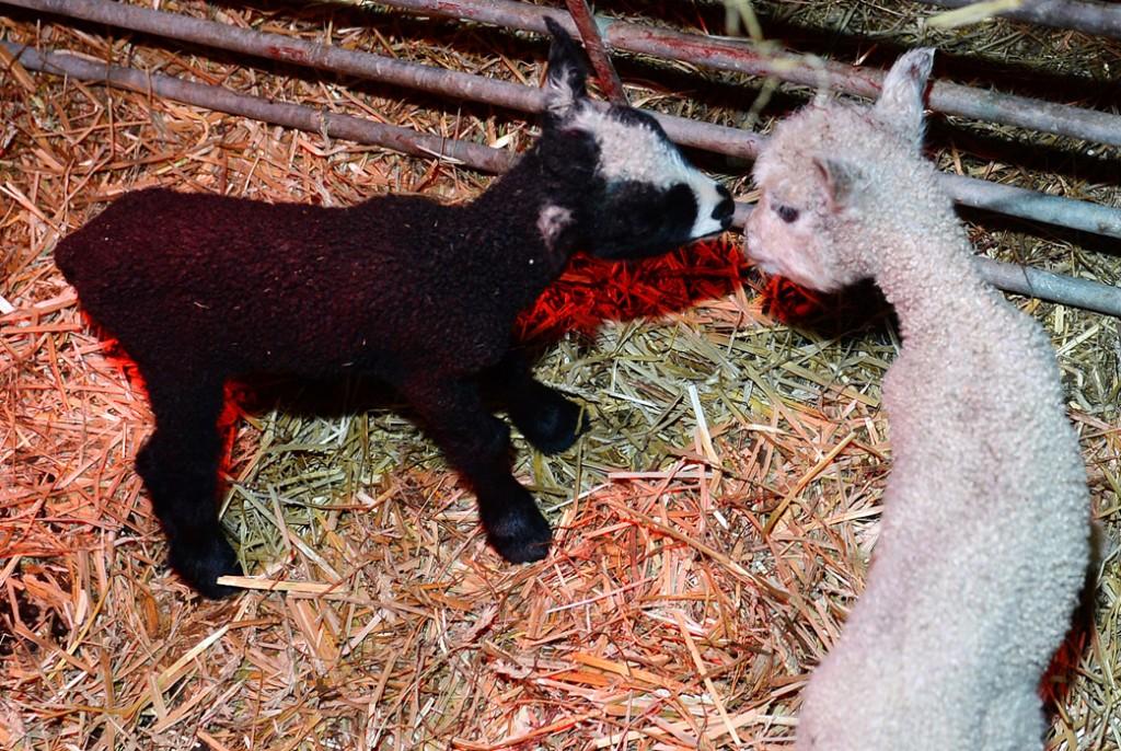 Syskon i fårhuset