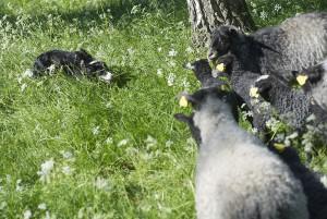 Lammen i hagen